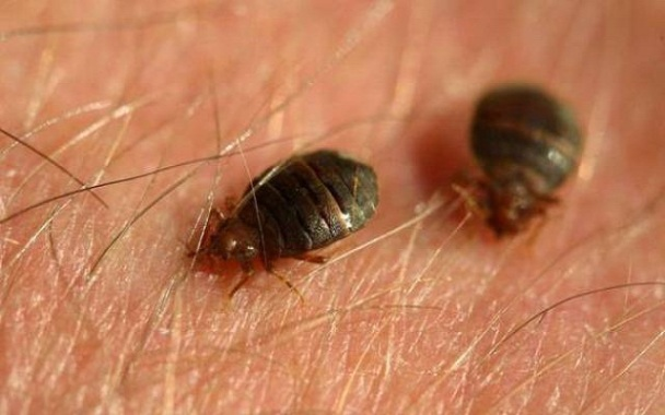 How To Get Rid From Bed Bugs Naturally