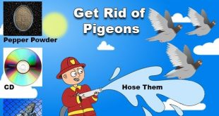 get-rid-of-pigeons-naturally
