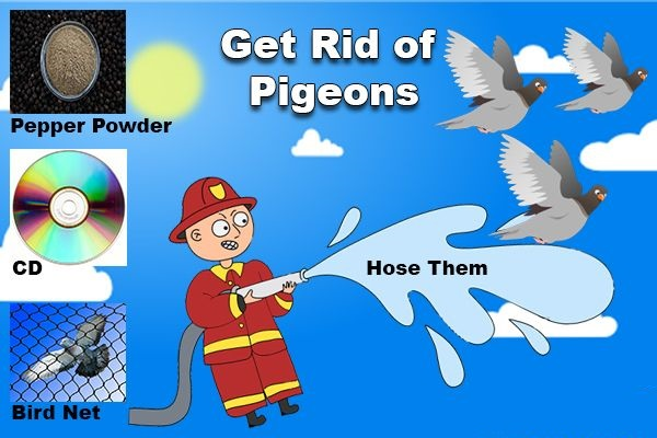 Get Rid Of Pigeons Naturally