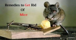 Remedies to get rid of mice