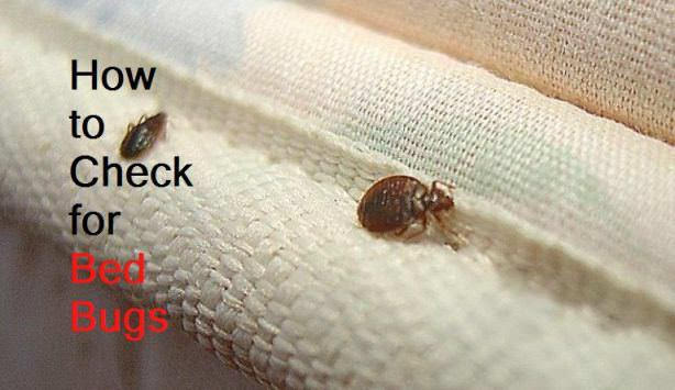 Can Bed Bugs Be Seen With The Eye