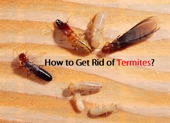 How To Get Rid Of Termites?