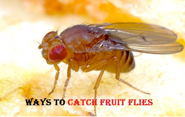 how to get rid of fruit flies uk