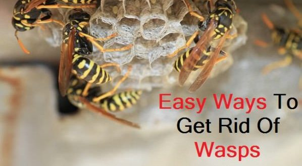 how to get rid of wasps in hedge