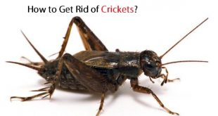 How to Get Rid of Crickets?