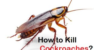 how to kill cockroaches