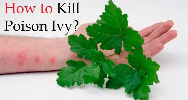 How-to-kill-poisin-ivy-616x330 Poisonous House Plant Ivy on poison ivy plants, perennial ivy plants, plant ivy plants, small ivy plants,