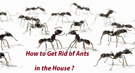 how to get rid of ants in the house. Black Bedroom Furniture Sets. Home Design Ideas