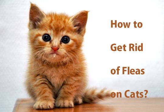 How to Get Rid of Fleas on Cats?