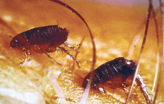 home remedy for fleas