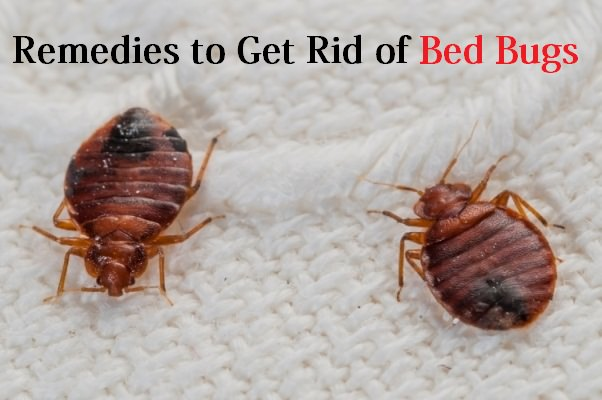 remedies to get rid of bed bugs